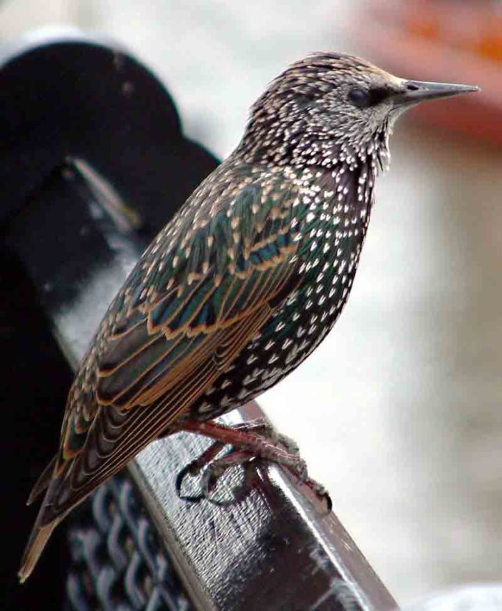 Photograph of a Common Starling (''Sturnus vulgaris'') - an immature female apparently Taken by user PaulLomax in London. Copyright asserted - [http://www.paullomax.org/photography/ contact him] for other licensing. {{cc-by-sa-1.0